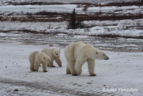 Polarbear2015NOV
